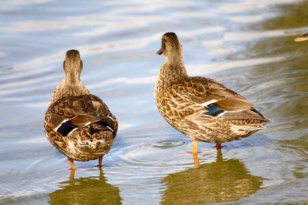 platyrhynchos: ducks