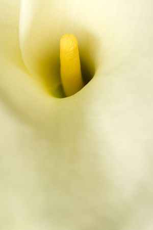 ONe calla in soft focus filling the frame Stock Photo - 6746771