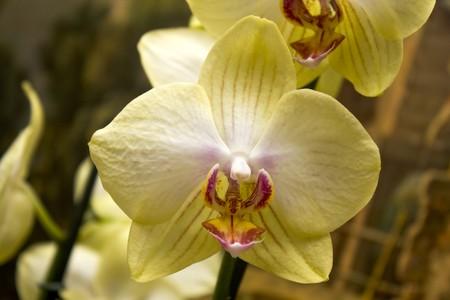one beautifull yellow flower closeup. one phalaenopsis Stock Photo - 7542405