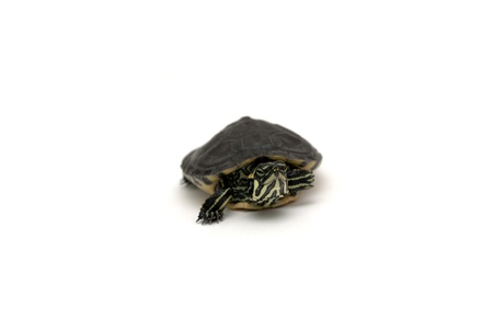 One baby turtle isolated in white background Stock Photo
