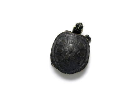 baby turtle: One baby turtle isolated in white background Stock Photo
