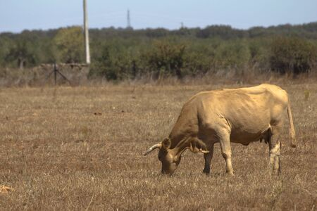 One old cow in a Brown field in summer