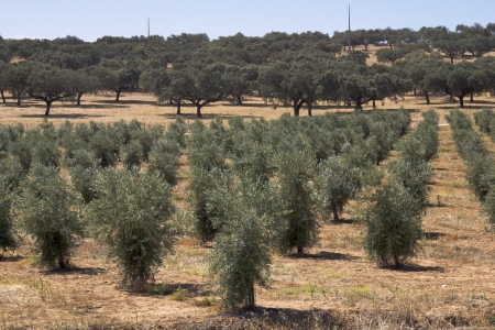 A Hill with many olive tree in summer