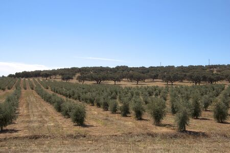 A Hill with many olive tree in summer Stock Photo