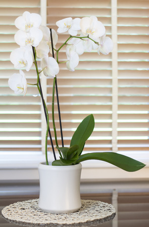 blinder: a orchid plant with plenty white flowers in top a gray mirror tabel in a circular support in front of a blurred window with brown wooden blinders slightly open forming light green stripes.