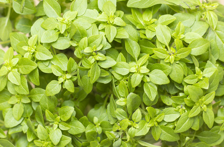 A macro close up on a plant of fresh clean greek basil with very bright green leaves. Stock Photo
