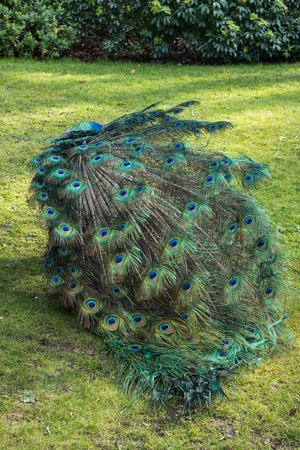 Male peacock walking around in the green grass of a public park