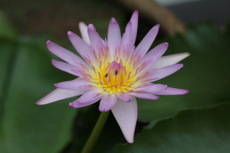 Lotus at Ubon Ratchathani in Thaland photo