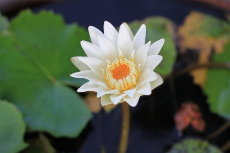 helpmate: Lotus