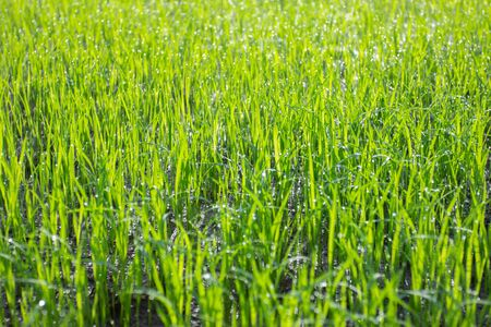Rice fields-terraces-plantation-farm. An organic asian rice farm and agriculture. Young growing rice. Stock Photo
