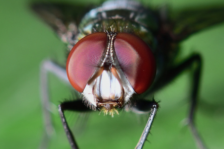 The fly is green on the body.