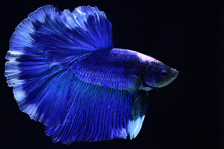 Super blue Betta Siamese fighting fish.The head is white and inserted in red. Fins and tail like long skirts, half moon tail, perfect fish elegance. Fish that are native to Thailand.Fight to compete.
