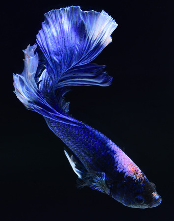 Super blue Betta Siamese fighting fish. The head is white and inserted in red. Fins and tail like long skirts, half moon tail, perfect fish elegance. Fish that are native to Thailand.Fight to compete. Stock Photo
