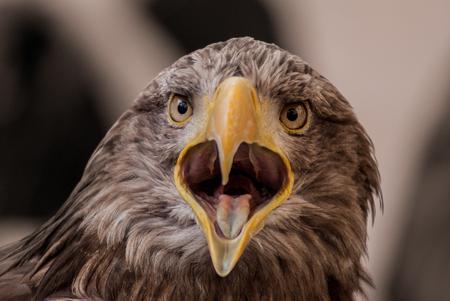 sea eagle: screaming sea eagle