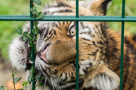 amur: Amur Tiger behind cage grid