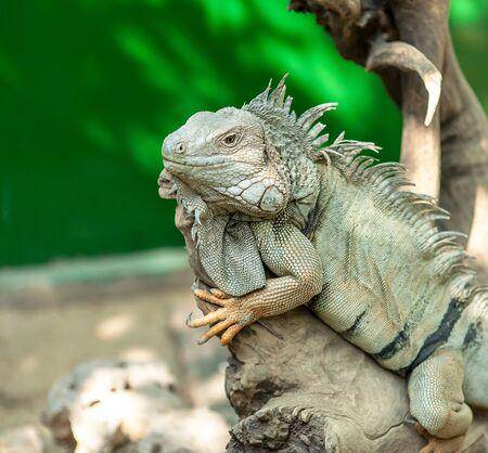 'no people': Green Iguana