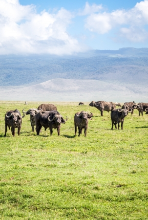 African Buffaloes in the Ngorongoro Crater Conservation Area