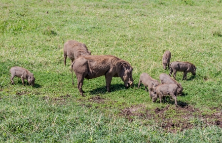 warthog in group
