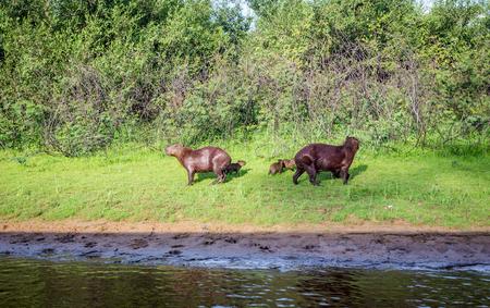 peruvian ethnicity: Capybara and family in Pantanal,Brazil