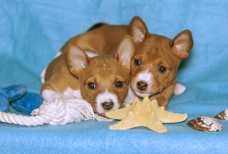 two red Basenji puppies play on turquoise background