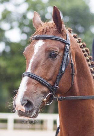 Porträt eines roten Pferdes im Zaumzeug Standard-Bild