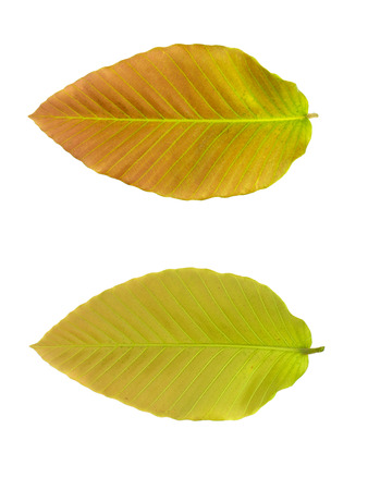 upper and lower of leaf on white background