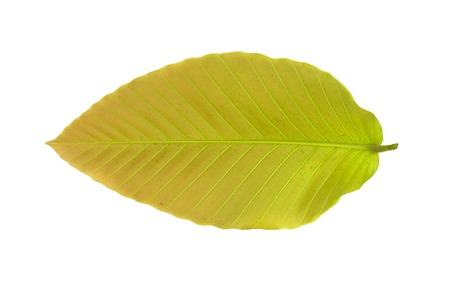 the leaf on white background