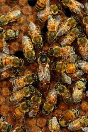 bee queen: Una abeja reina