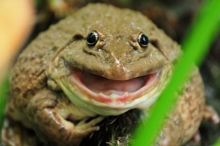 smiling frog: Rana sonriente