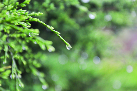dewdrop: Pine with dewdrop