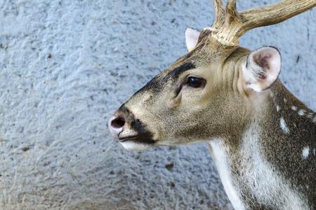 siamensis: Close up Elds deer