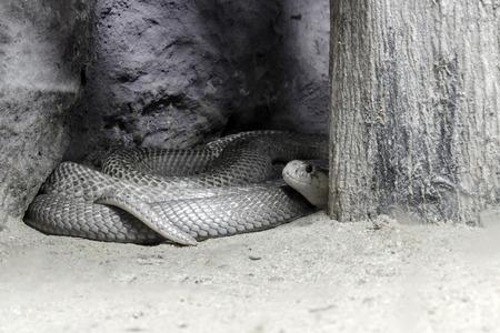 egyptian cobra: Hide Cobra in Black and White Stock Photo