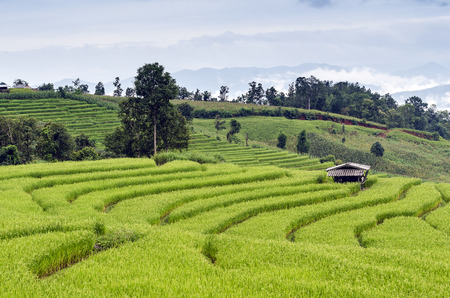 terraced field: green Terraced Rice Field in Chiangmai, Thailand