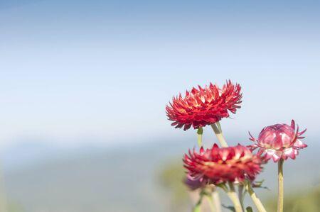 everlasting: Red Straw flower or everlasting flower