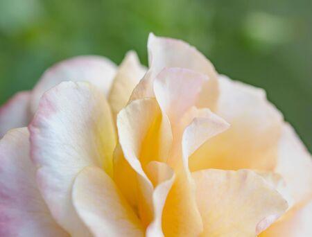 close up: Close up Rose Petal
