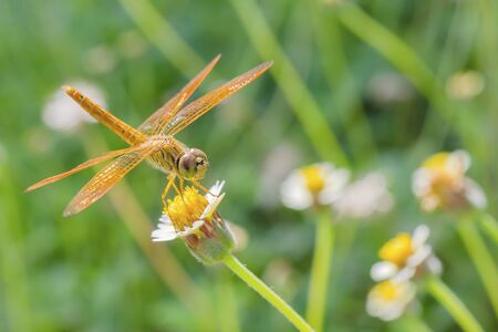 crocothemis: Close up dragonfly, Dragonfly with flower field Stock Photo