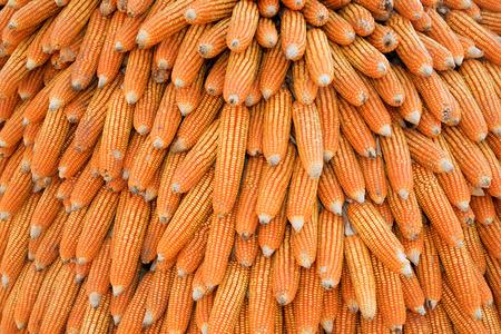 ear corn: O�do de secado de ma�z despu�s de la cosecha. Foto de archivo