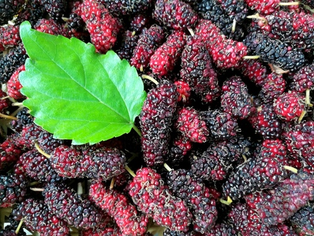 Delicious mulberry texture with leaf,King of berry are more vitamin and nutrients