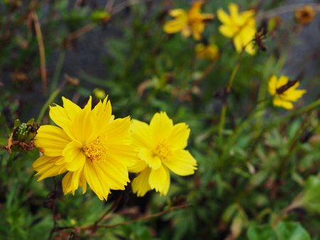 Yellow dense petal Sulfur Cosmos flower cluster group bouquet with blurred green and dry brown stem tree branch bush background, perspective