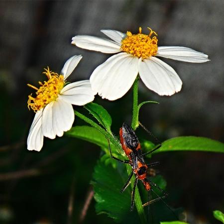 daisys: Bug on daisys