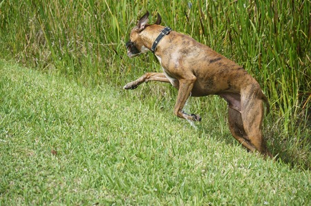 working animal: Brindle boxer dog sprints out of marsh Stock Photo