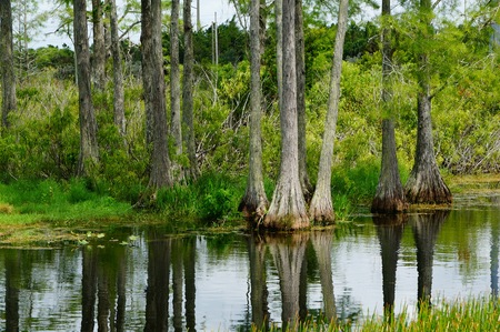 Cypress tress reflecting in the swamp water Stock Photo