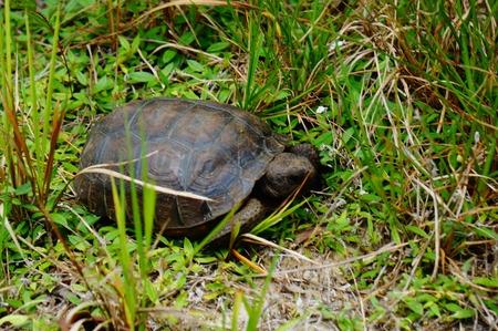 endangered: Endangered gopher turtle in Hobe Sound, Florida
