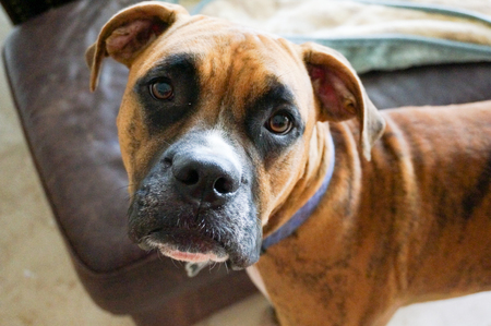 Boxer dog with brindle markings looks into the camera