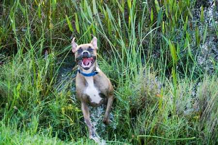 frolicking: Brindle and fawn boxer dog frolicking and splashing in swamp