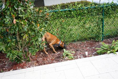 perro boxer: Brown boxer dog buries a bone in the dirt.