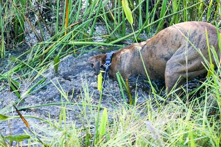 perro boxer: Brindle y perro boxer leonado retozando y salpicaduras en pantano