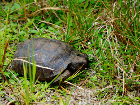 close up of endangered tortoise in Florida Stock Photo