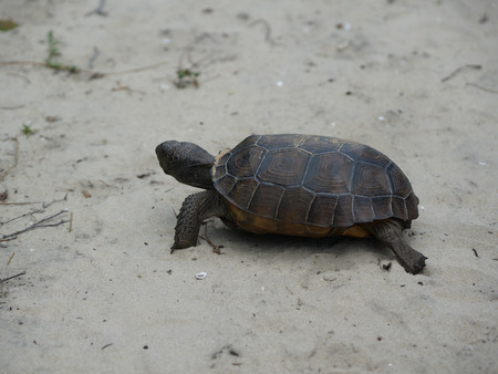 egmont: close up of endangered tortoise in Florida Stock Photo