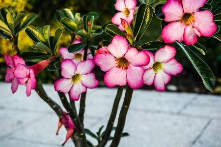 hot pink: desert rose bush with hot pink blooms Stock Photo